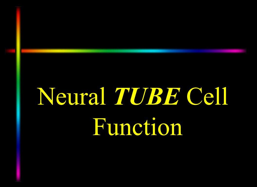 Neural TUBE Cell Function