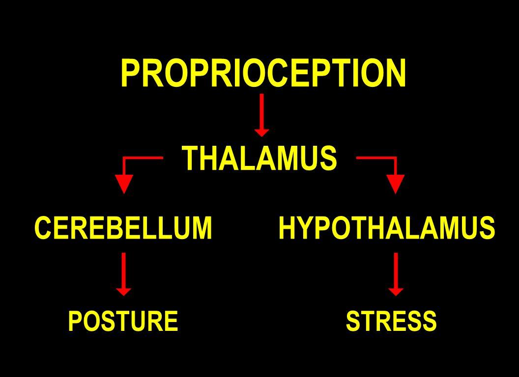 PROPRIOCEPTION THALAMUS CEREBELLUM HYPOTHALAMUS POSTURE STRESS