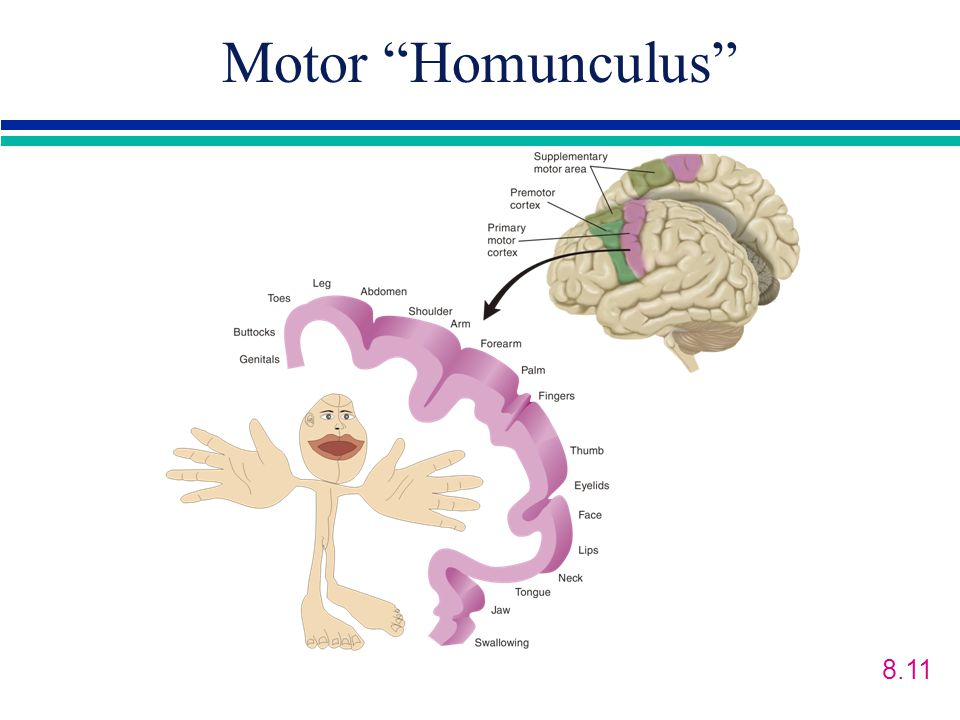 Motor Homunculus 8.11 Dualism-mind is separate from the body