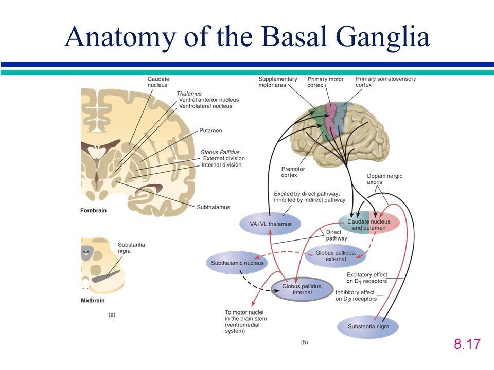 Anatomy of the Basal Ganglia