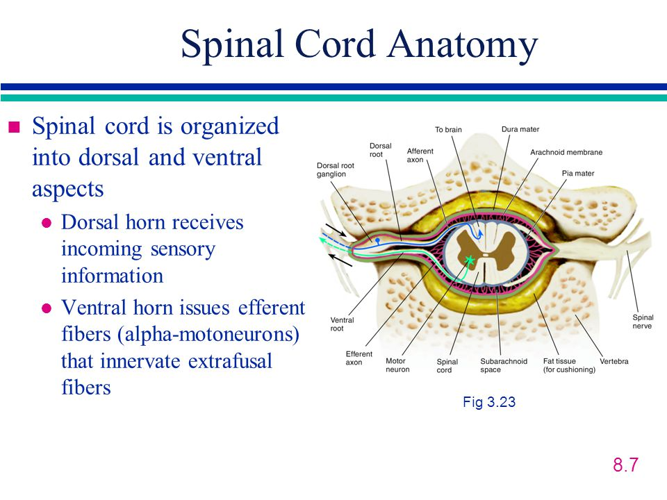 Spinal Cord Anatomy Spinal cord is organized into dorsal and ventral aspects. Dorsal horn receives incoming sensory information.