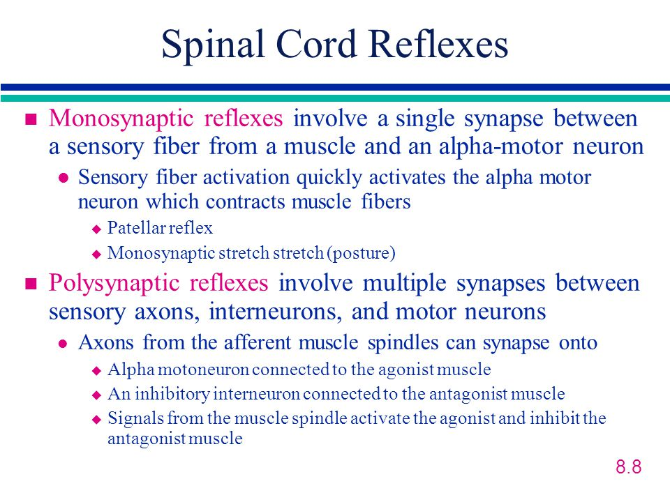 Spinal Cord Reflexes Monosynaptic reflexes involve a single synapse between a sensory fiber from a muscle and an alpha-motor neuron.