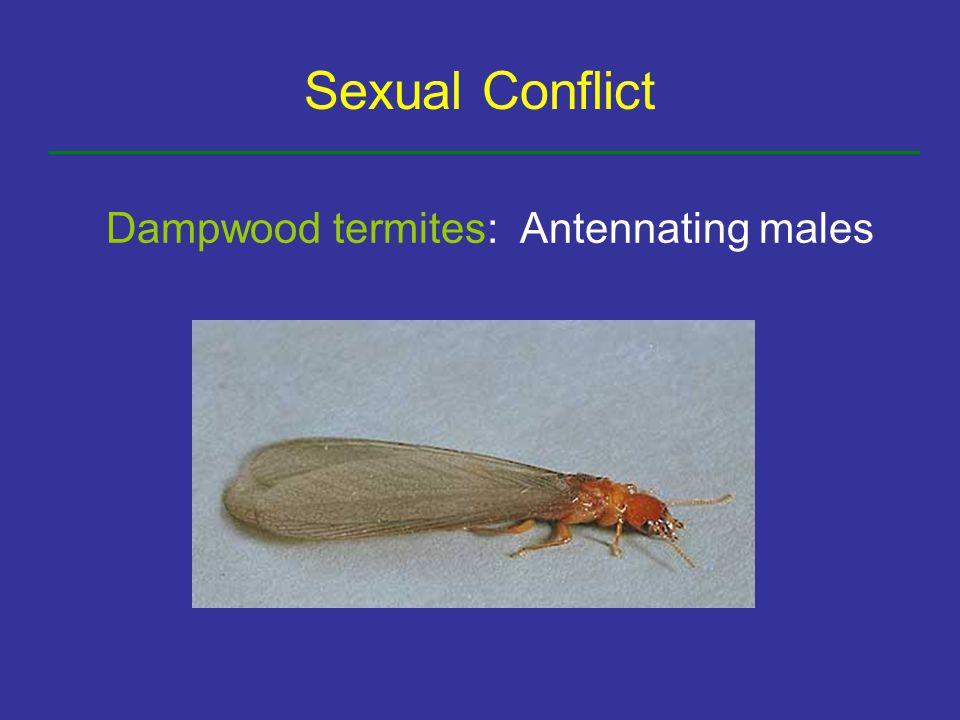 Sexual Conflict Dampwood termites: Antennating males