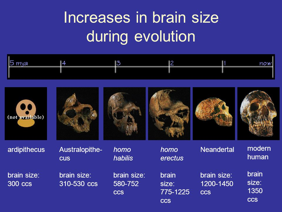 Increases in brain size during evolution