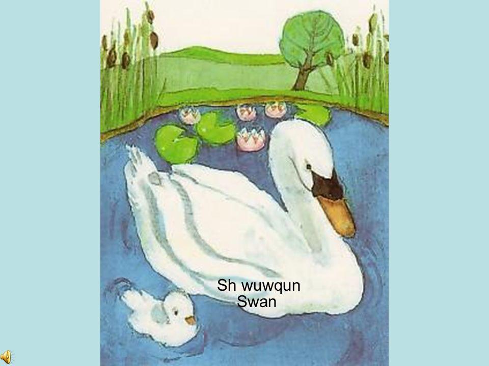 Sh wuwqun Swan