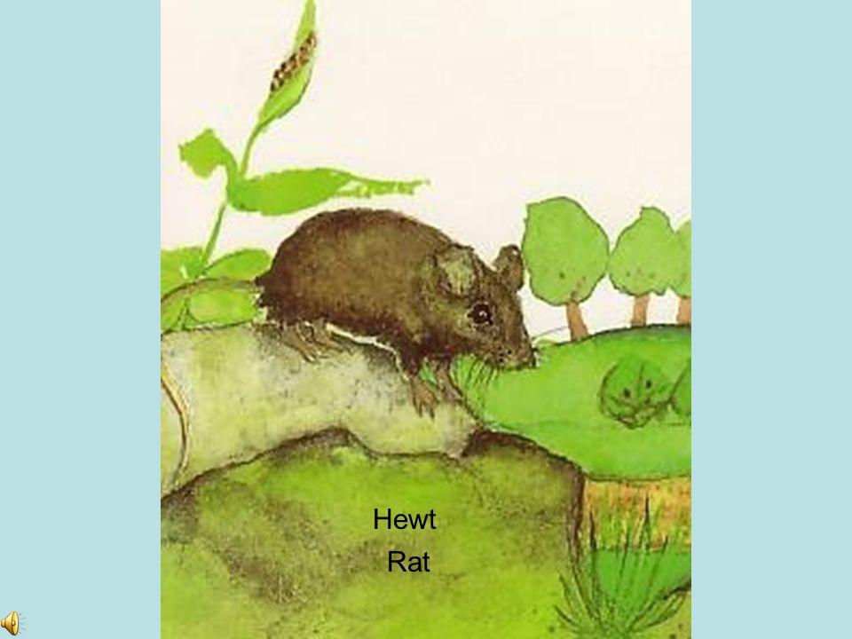 Hewt Rat