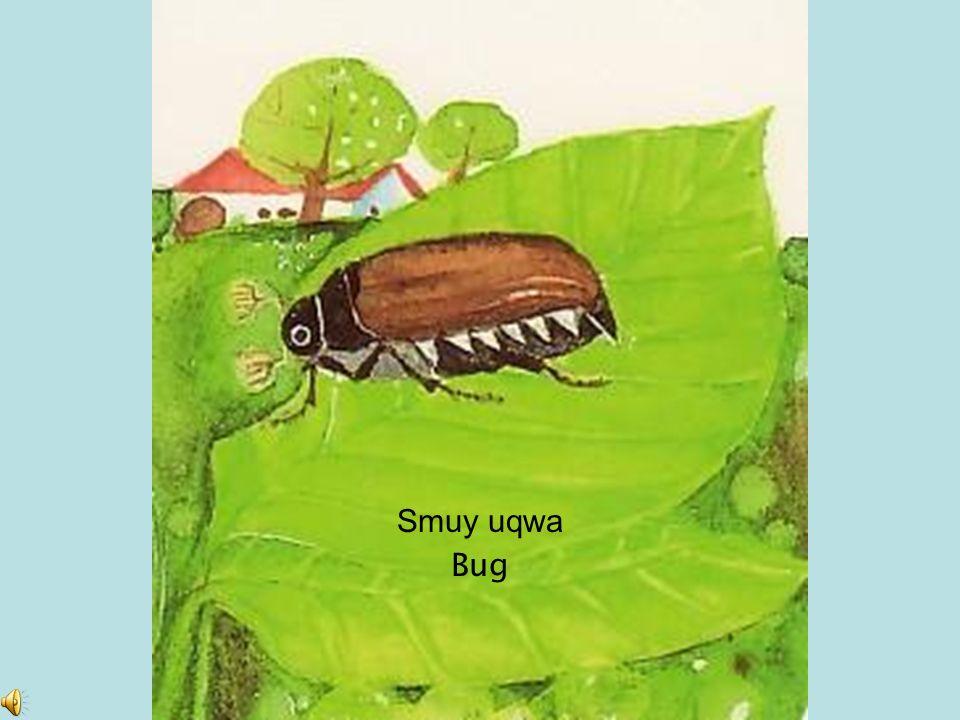 Smuy uqwa Bug