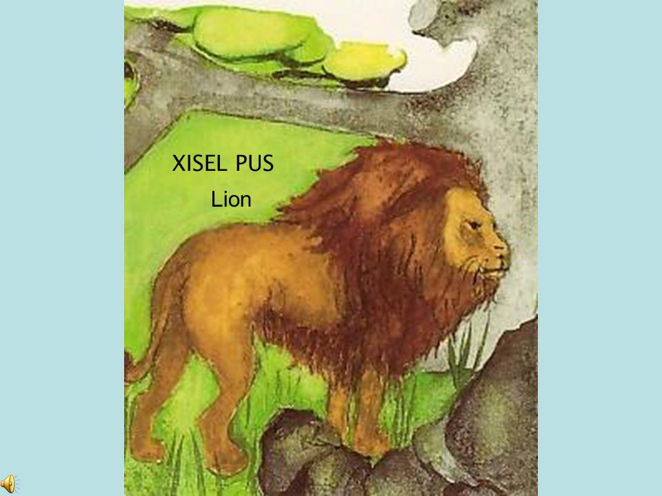 XISEL PUS Lion