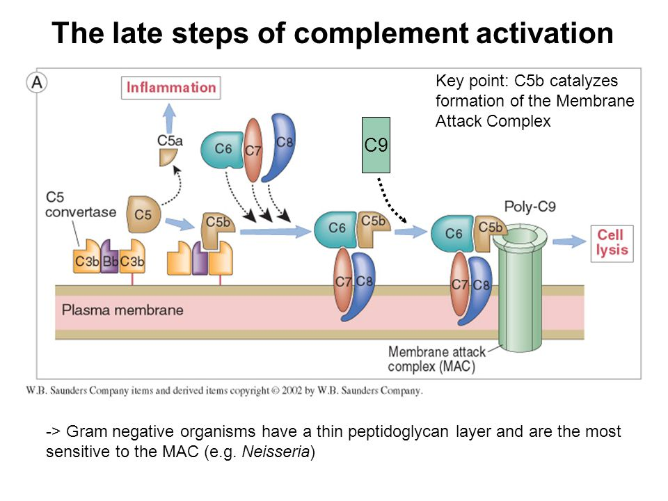 The late steps of complement activation