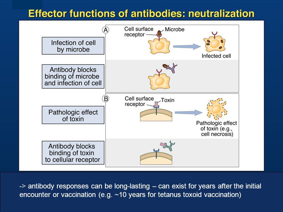 -> antibody responses can be long-lasting – can exist for years after the initial encounter or vaccination (e.g.