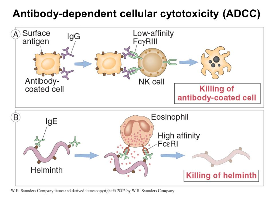 Antibody-dependent cellular cytotoxicity (ADCC)