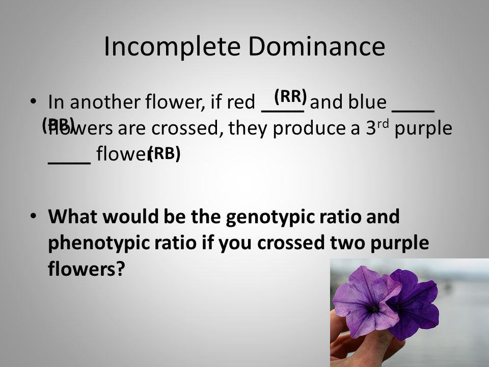 Incomplete Dominance (RR) In another flower, if red ____ and blue ____ flowers are crossed, they produce a 3rd purple ____ flower.