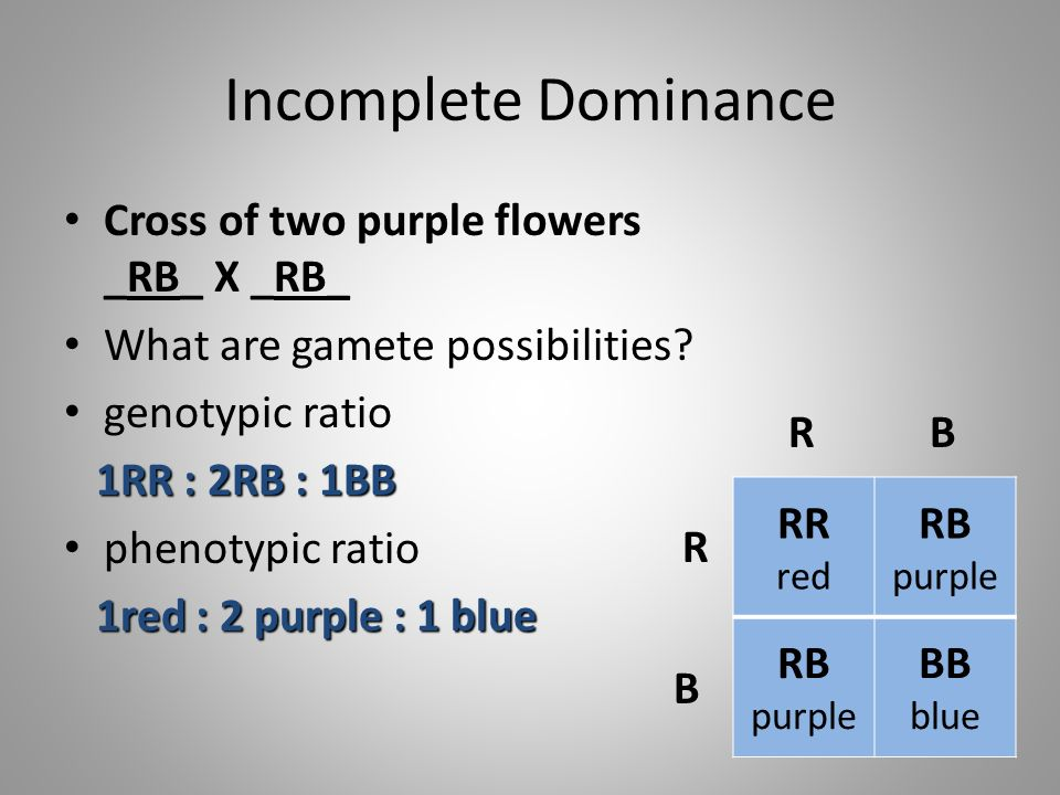 Incomplete Dominance Cross of two purple flowers _RB_ X _RB_