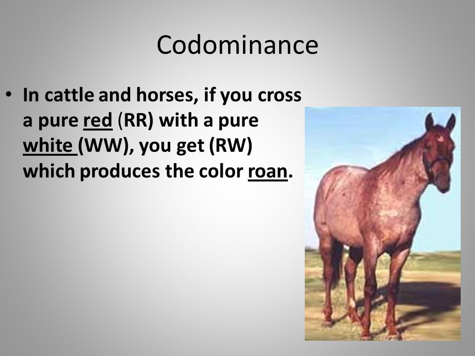 Codominance In cattle and horses, if you cross a pure red (RR) with a pure white (WW), you get (RW) which produces the color roan.