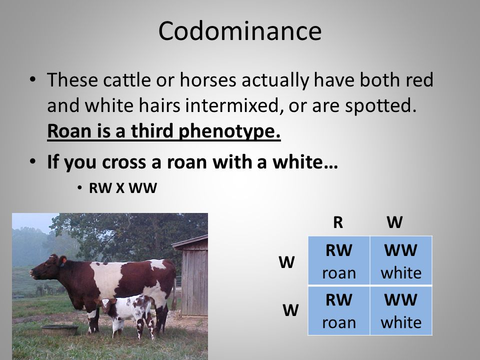 Codominance These cattle or horses actually have both red and white hairs intermixed, or are spotted. Roan is a third phenotype.