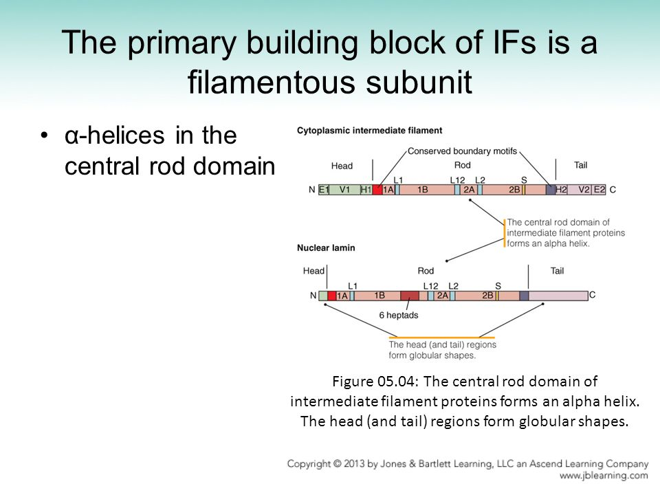 The primary building block of IFs is a filamentous subunit