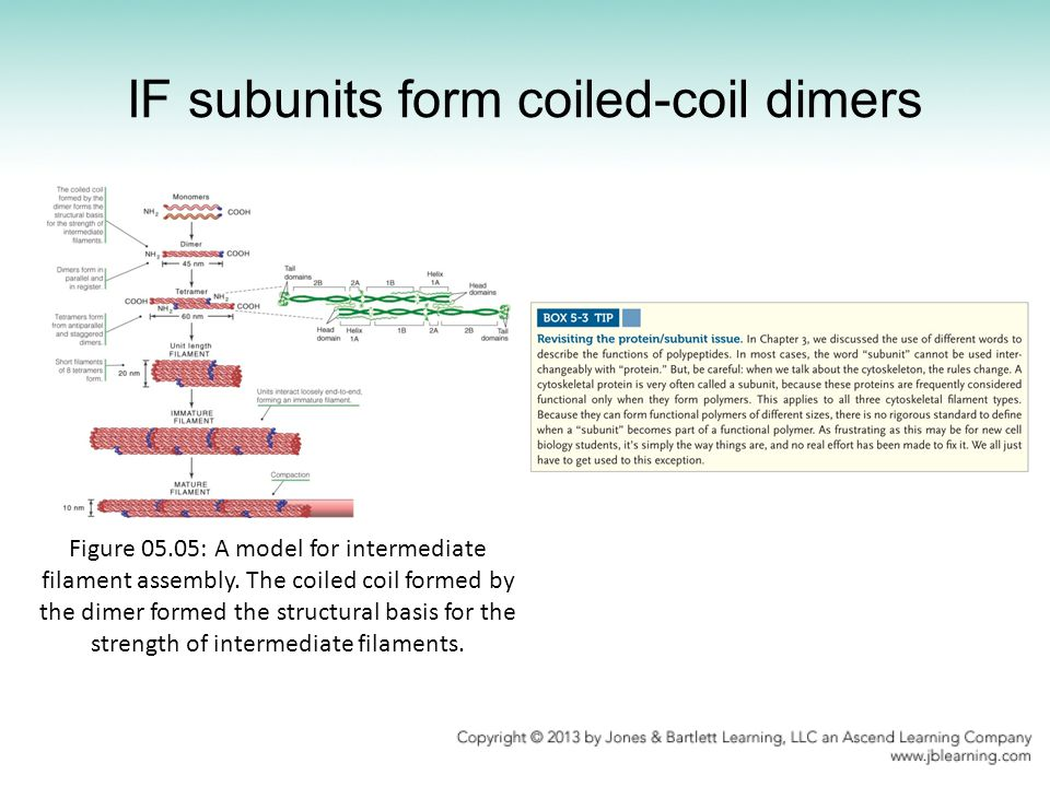 IF subunits form coiled-coil dimers