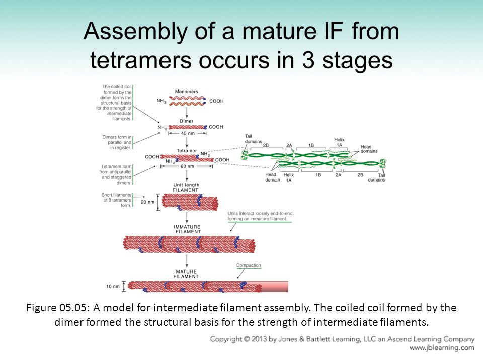 Assembly of a mature IF from tetramers occurs in 3 stages
