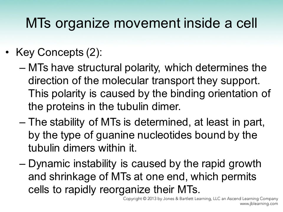 MTs organize movement inside a cell