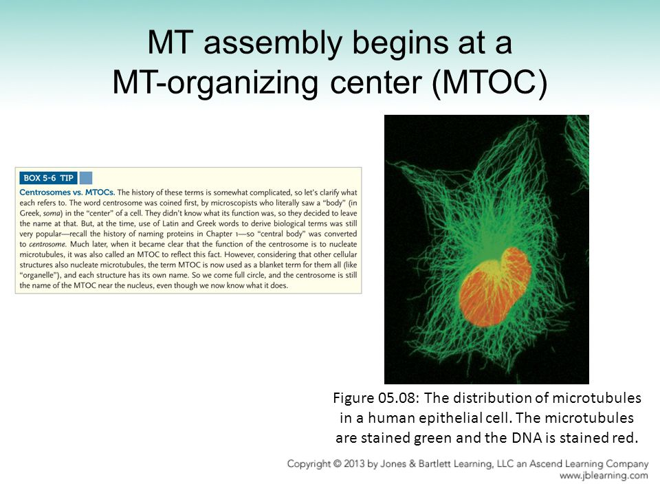 MT assembly begins at a MT-organizing center (MTOC)