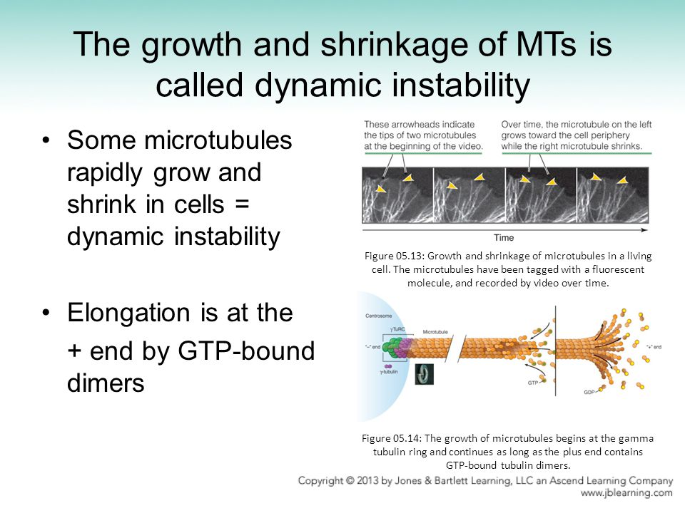 The growth and shrinkage of MTs is called dynamic instability