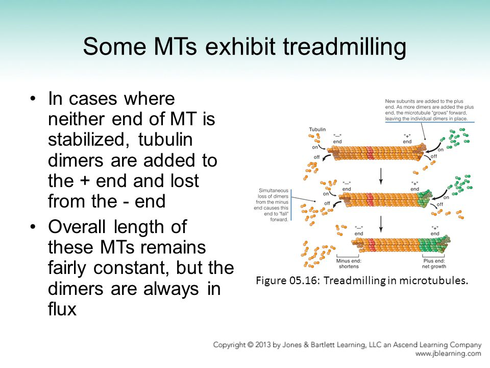 Some MTs exhibit treadmilling