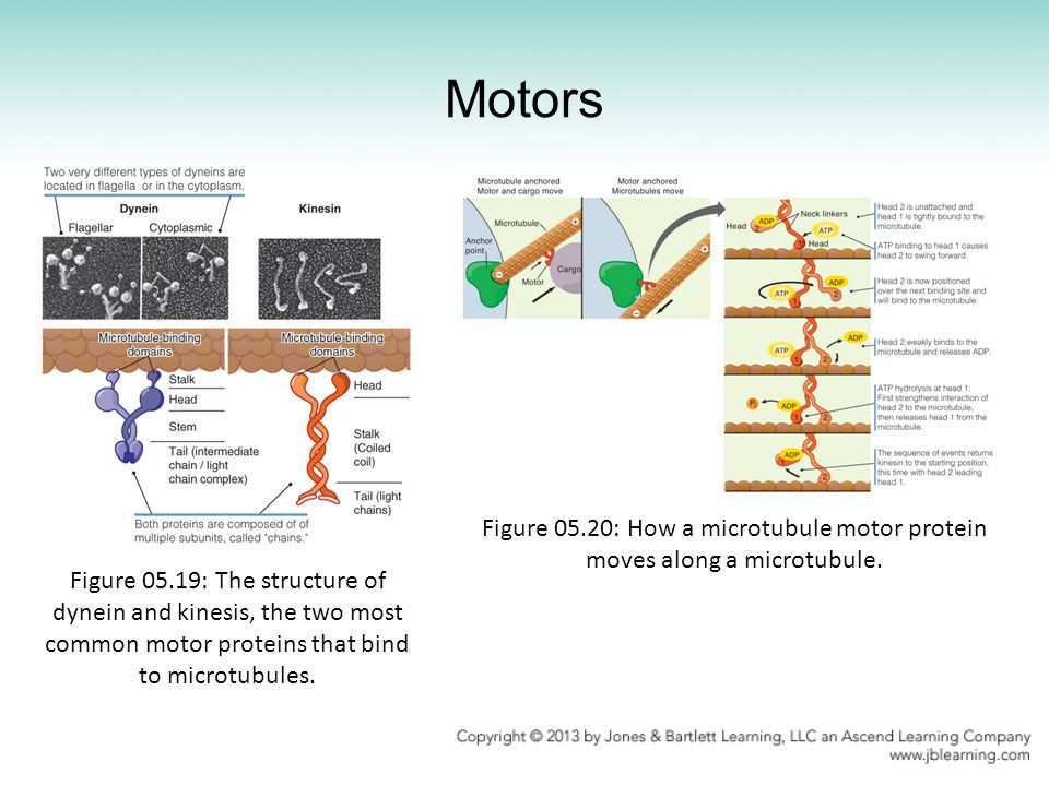 Motors Figure 05.19: The structure of dynein and kinesis, the two most common motor proteins that bind to microtubules.