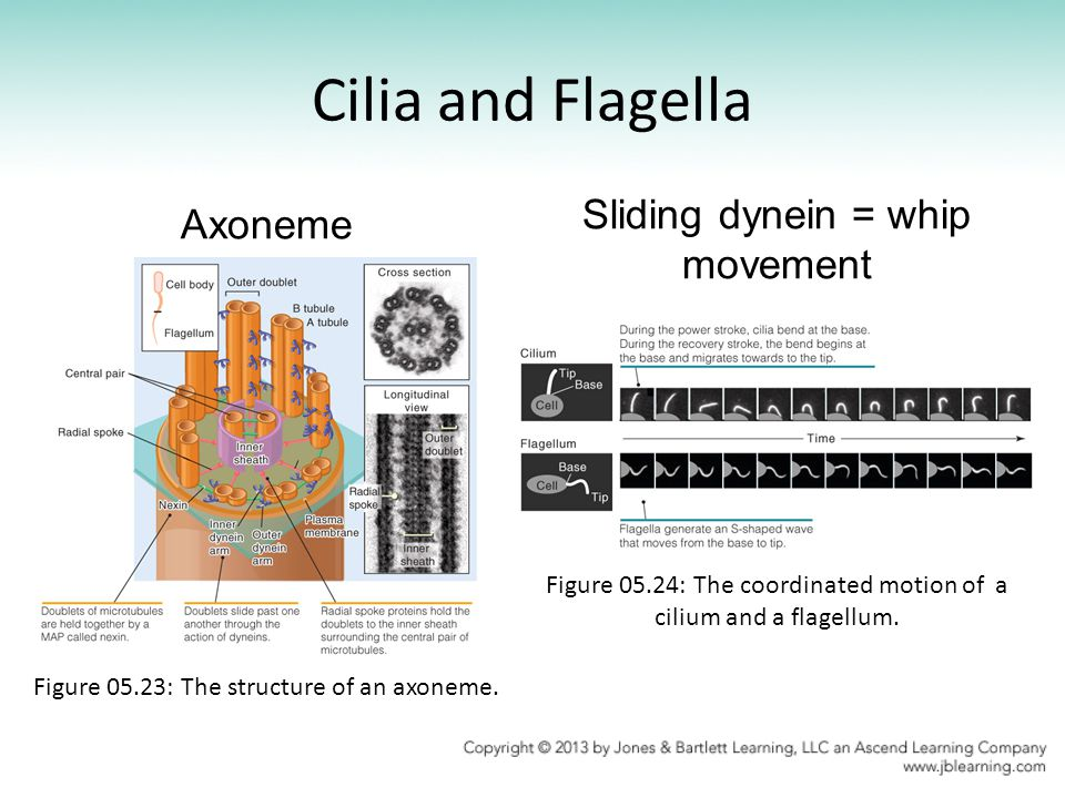 Cilia and Flagella Axoneme Sliding dynein = whip movement