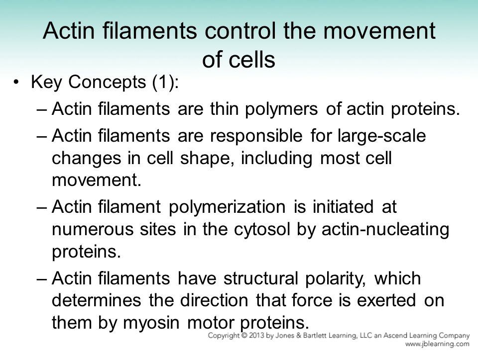 Actin filaments control the movement of cells