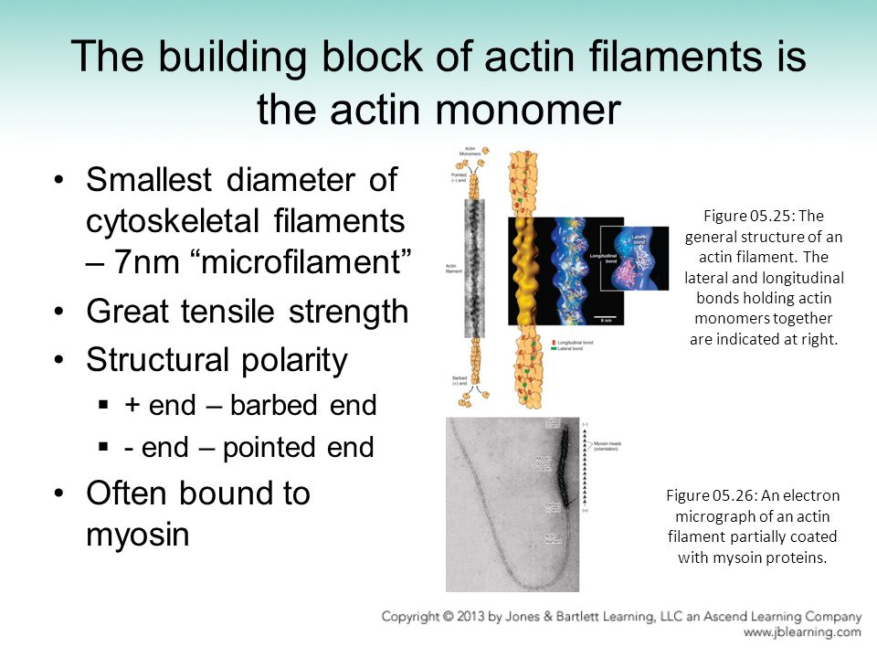 The building block of actin filaments is the actin monomer