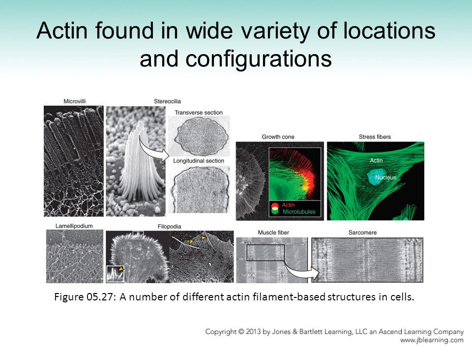 Actin found in wide variety of locations and configurations