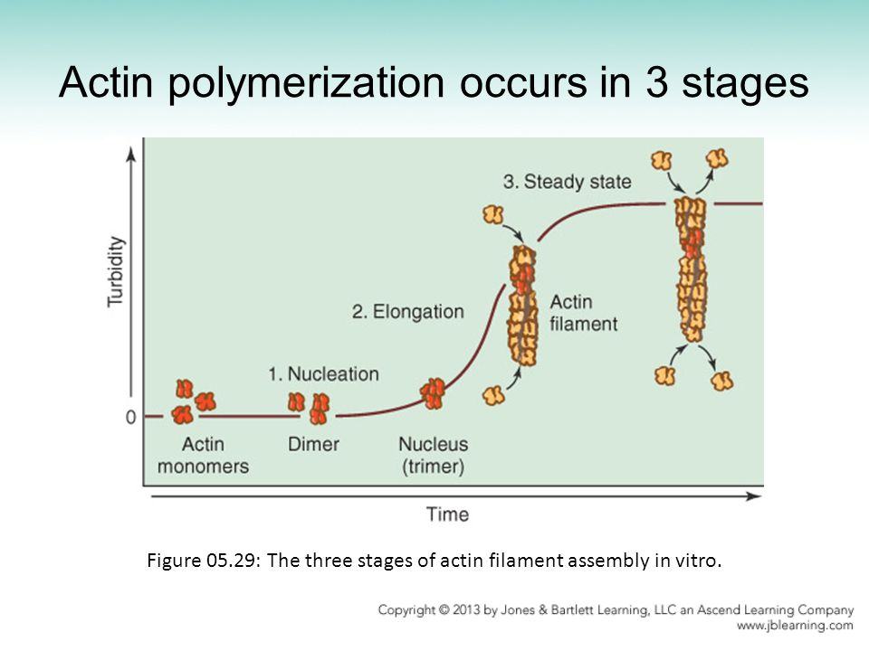Actin polymerization occurs in 3 stages