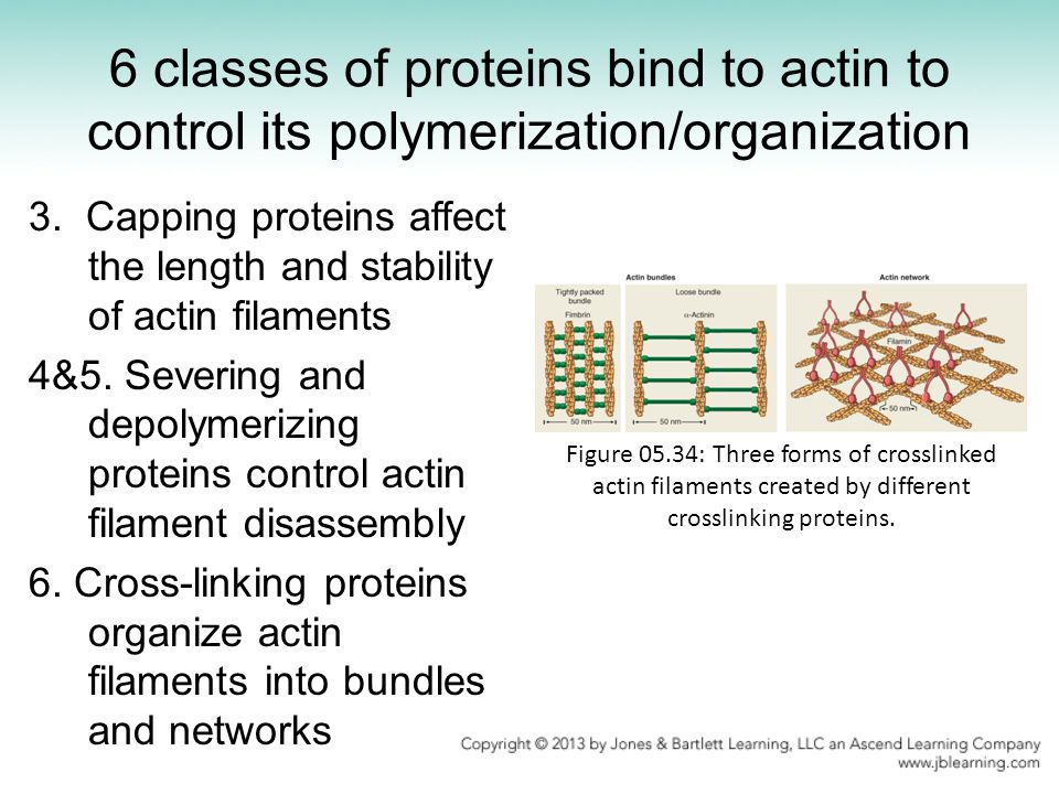 6 classes of proteins bind to actin to control its polymerization/organization