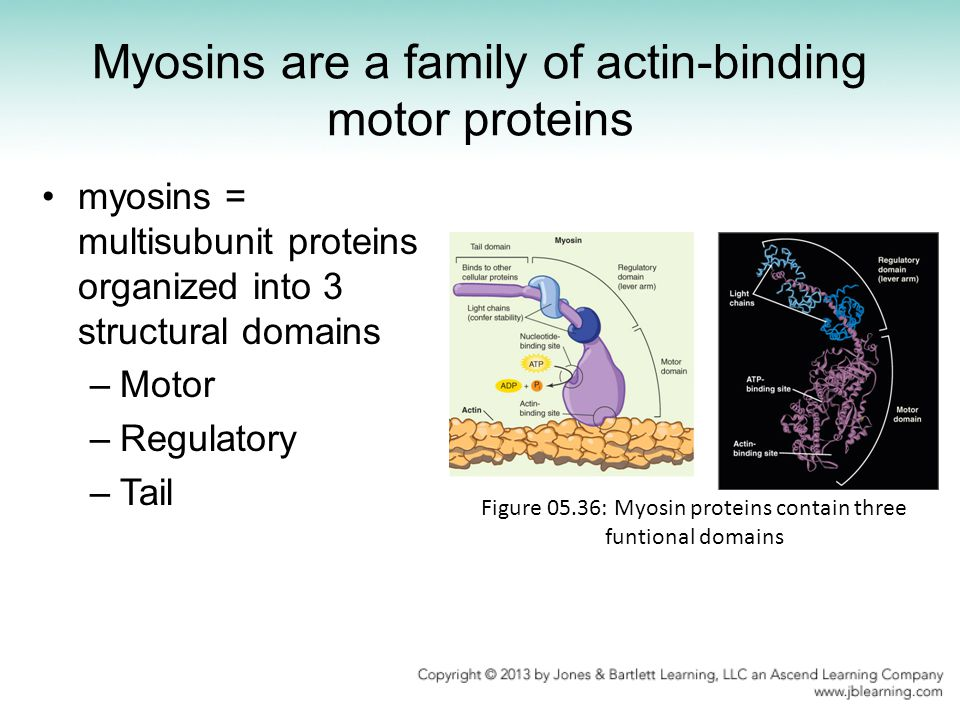 Myosins are a family of actin-binding motor proteins