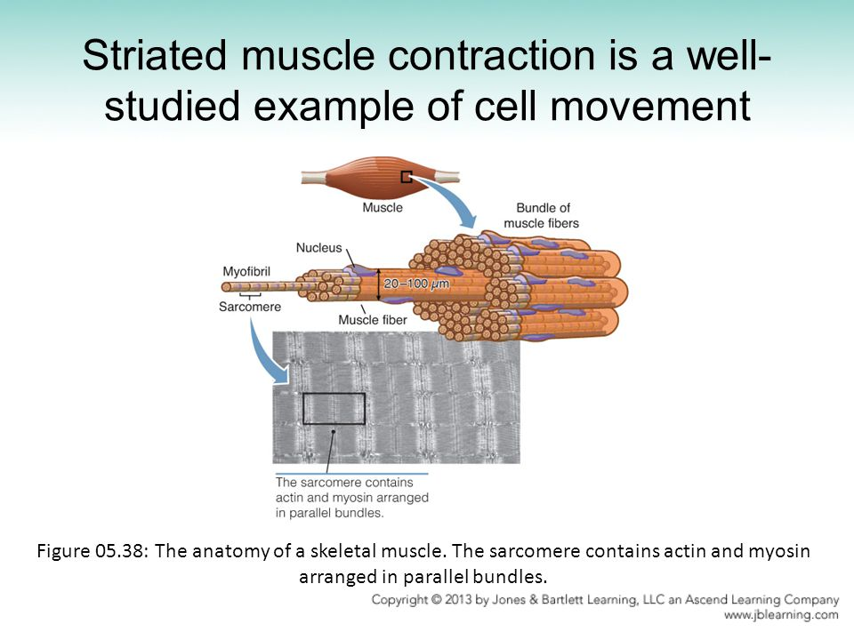 Striated muscle contraction is a well-studied example of cell movement