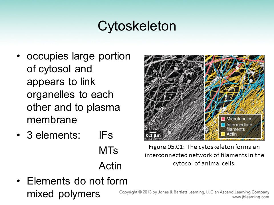 Cytoskeleton occupies large portion of cytosol and appears to link organelles to each other and to plasma membrane.