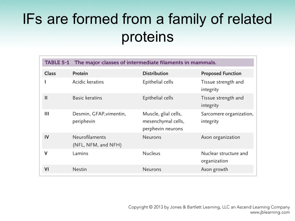 IFs are formed from a family of related proteins