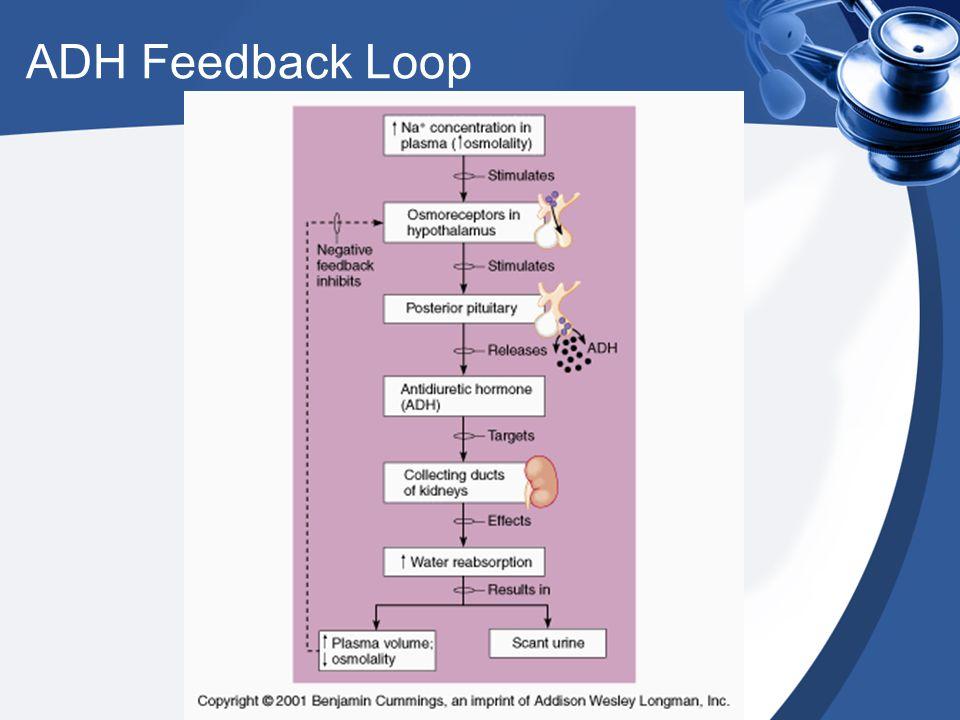 ADH Feedback Loop