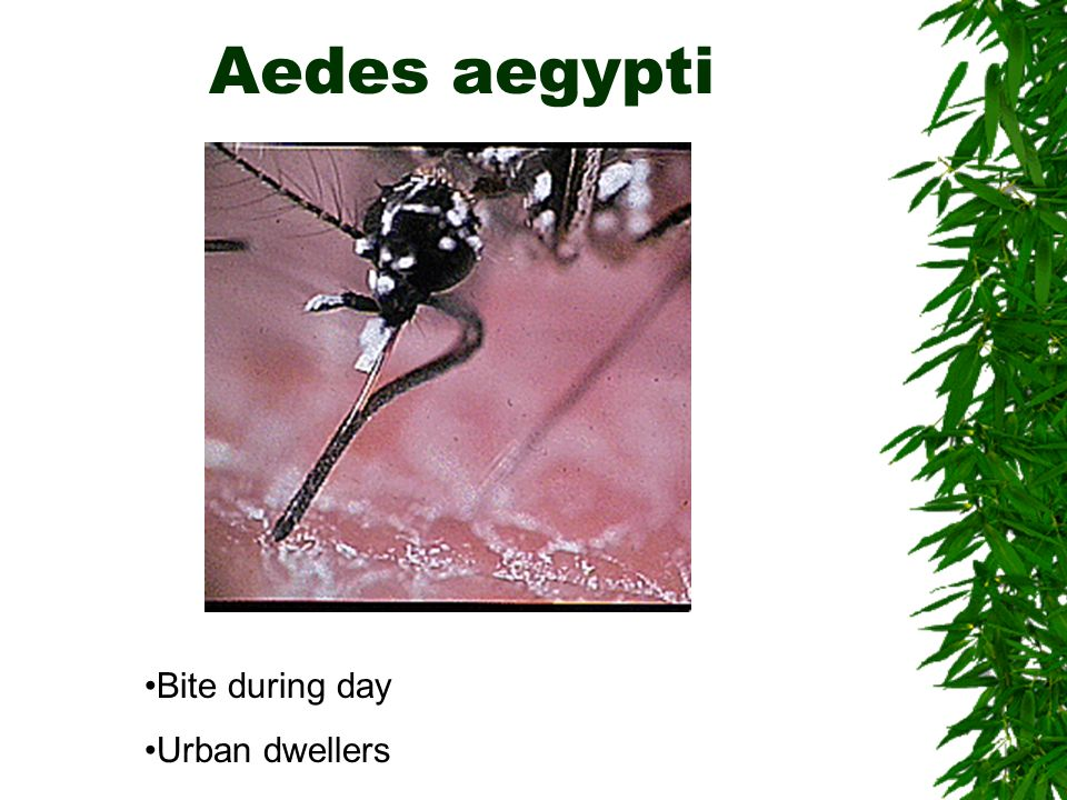 Aedes aegypti Bite during day Urban dwellers