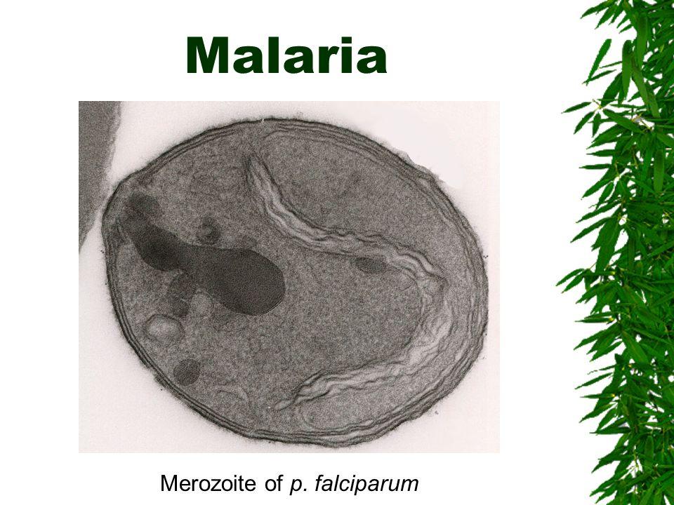 Merozoite of p. falciparum