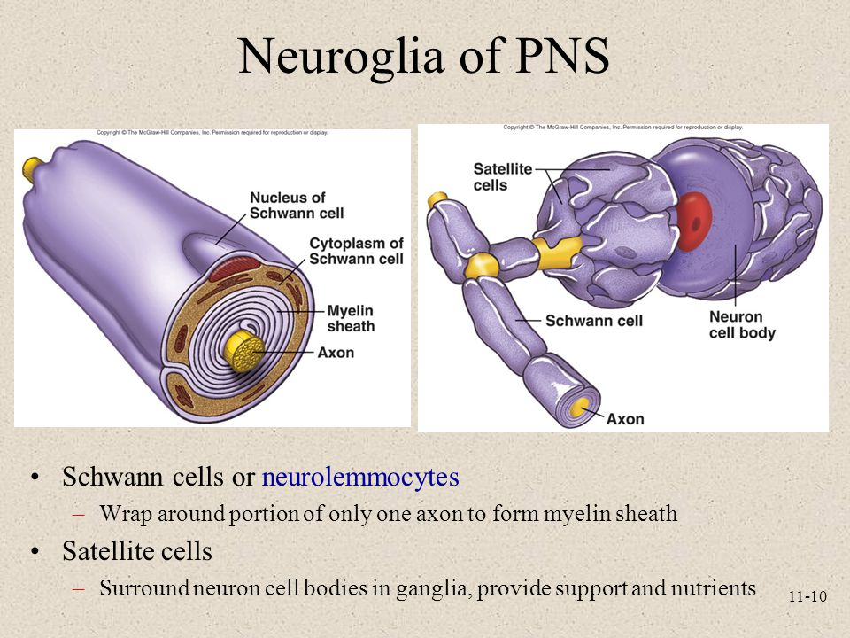 Neuroglia of PNS Schwann cells or neurolemmocytes Satellite cells