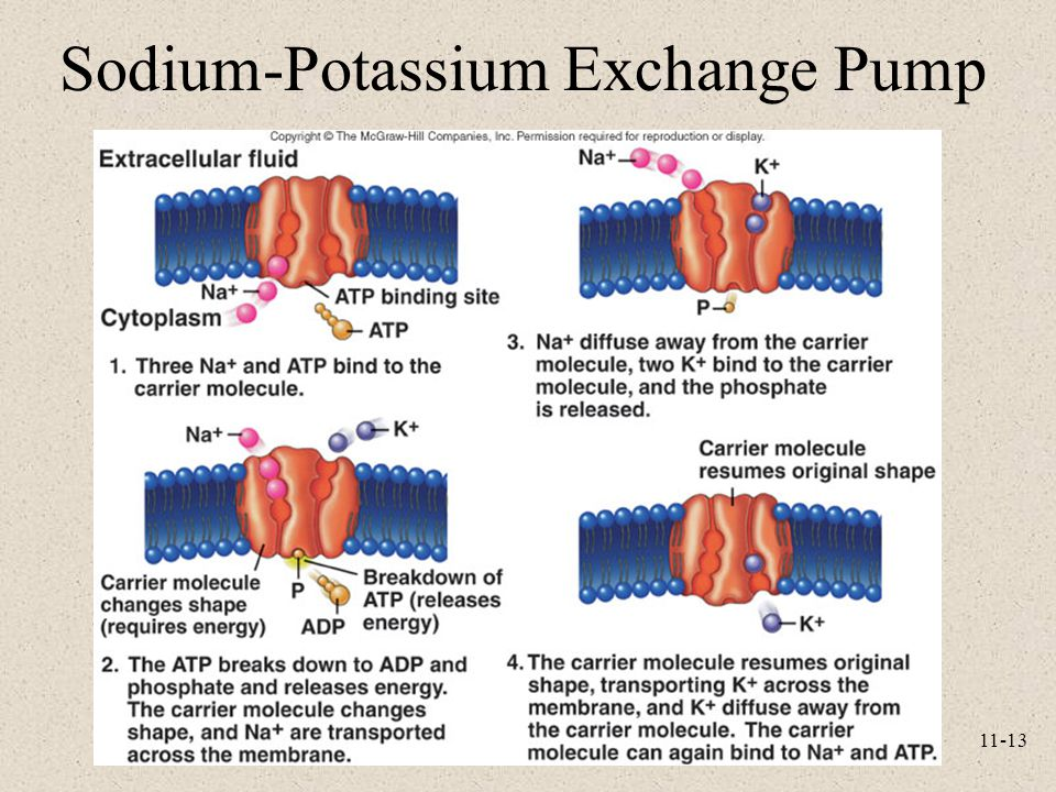 Sodium-Potassium Exchange Pump