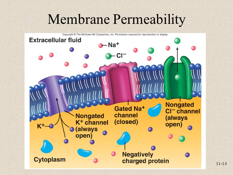 cell membrane and permeability Biology lab report block 4a cell membrane permeability model experiment report cell model # contents of cell's internal environment content of cell's external environment predicted change explanation for your prediction starch starch solution tap water iodine iodine will diffuse in water iodine molecules are small and fit in starch molecules glucose glucose solution tap water water will.