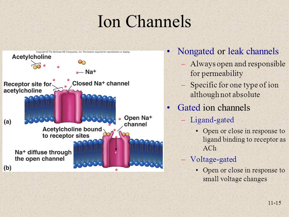 Ion Channels Nongated or leak channels Gated ion channels