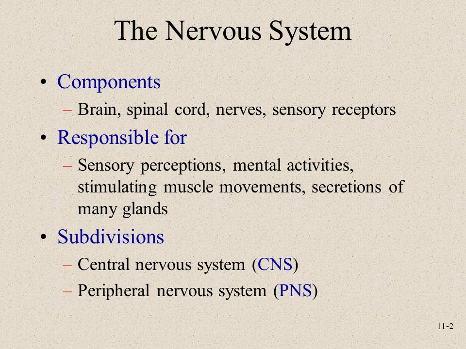 The Nervous System Components Responsible for Subdivisions