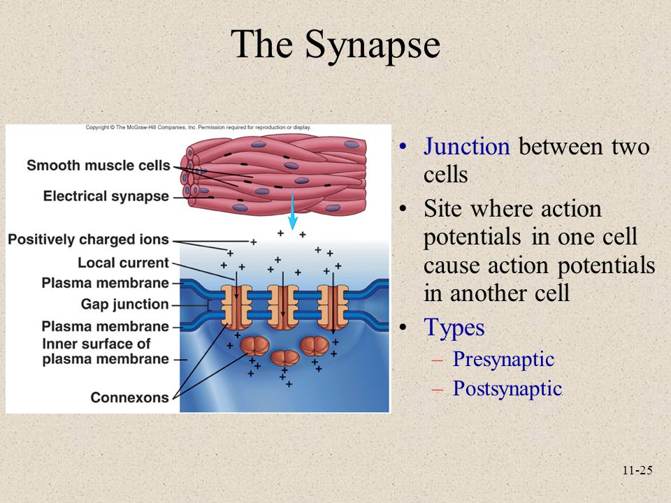 The Synapse Junction between two cells