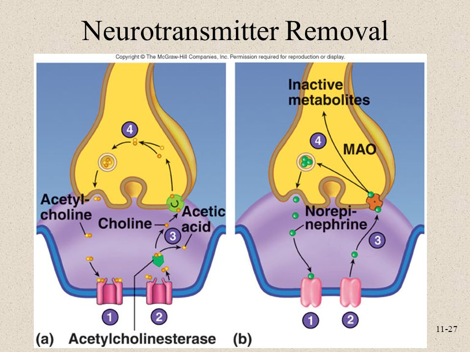 Neurotransmitter Removal