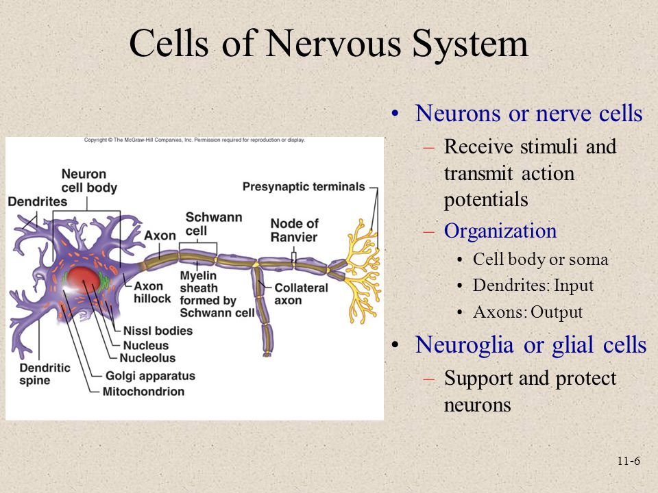 Cells of Nervous System