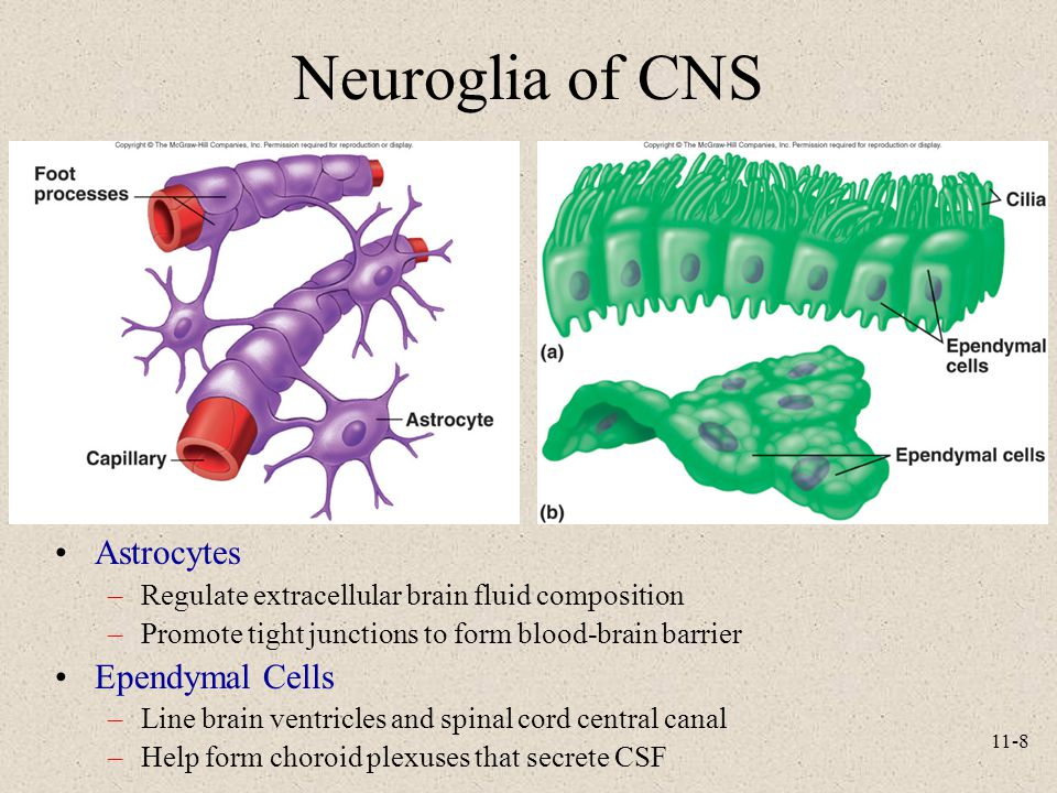 Neuroglia of CNS Astrocytes Ependymal Cells