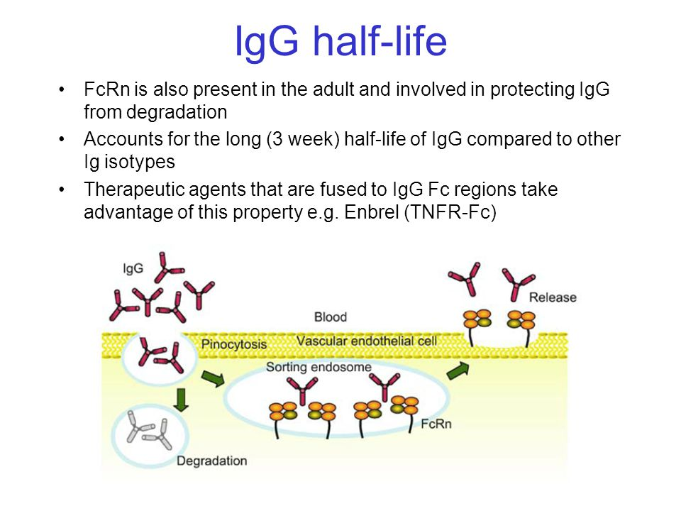 IgG half-life FcRn is also present in the adult and involved in protecting IgG from degradation.